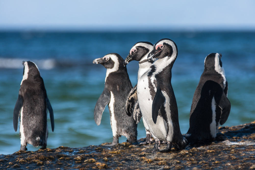Penguins along the shore of the South African coast