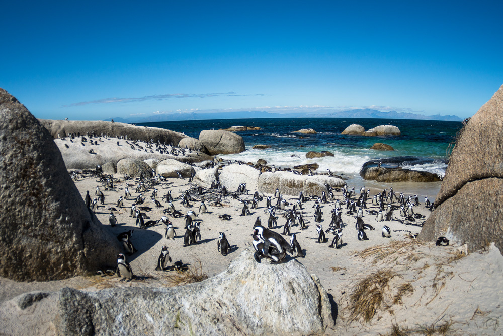 Penguins in a South African square