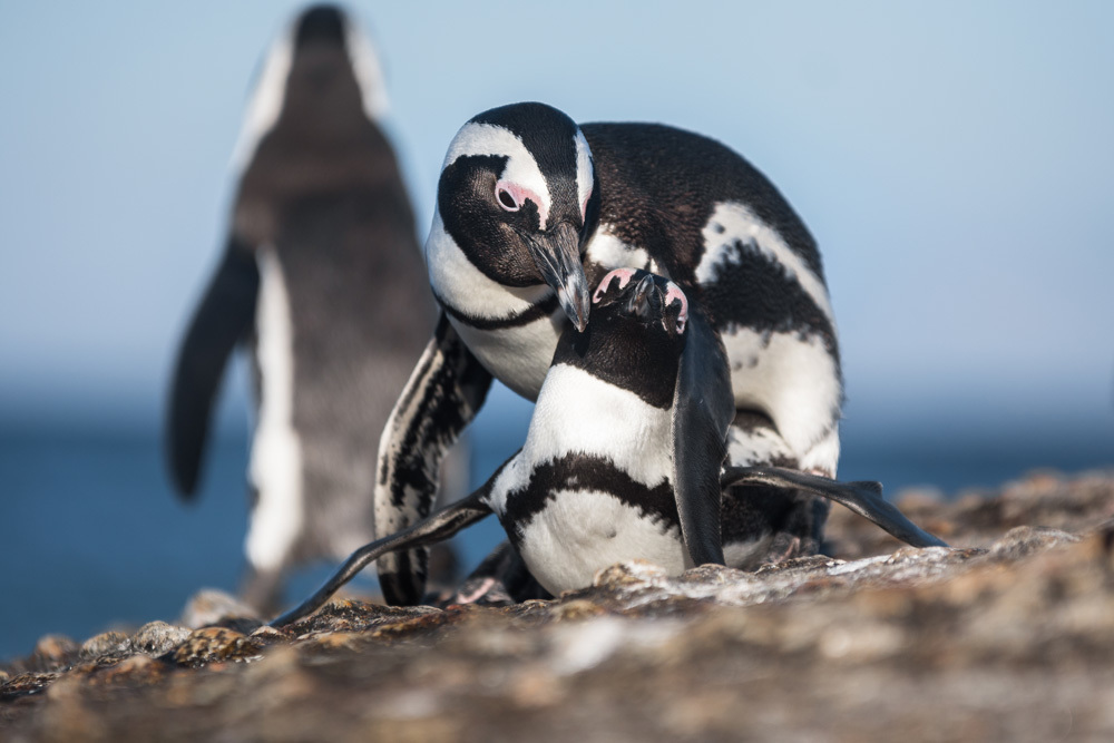 a couple of penguins