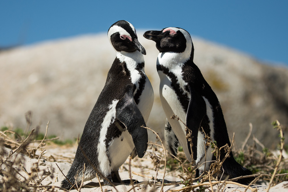 A couple of penguins court each other