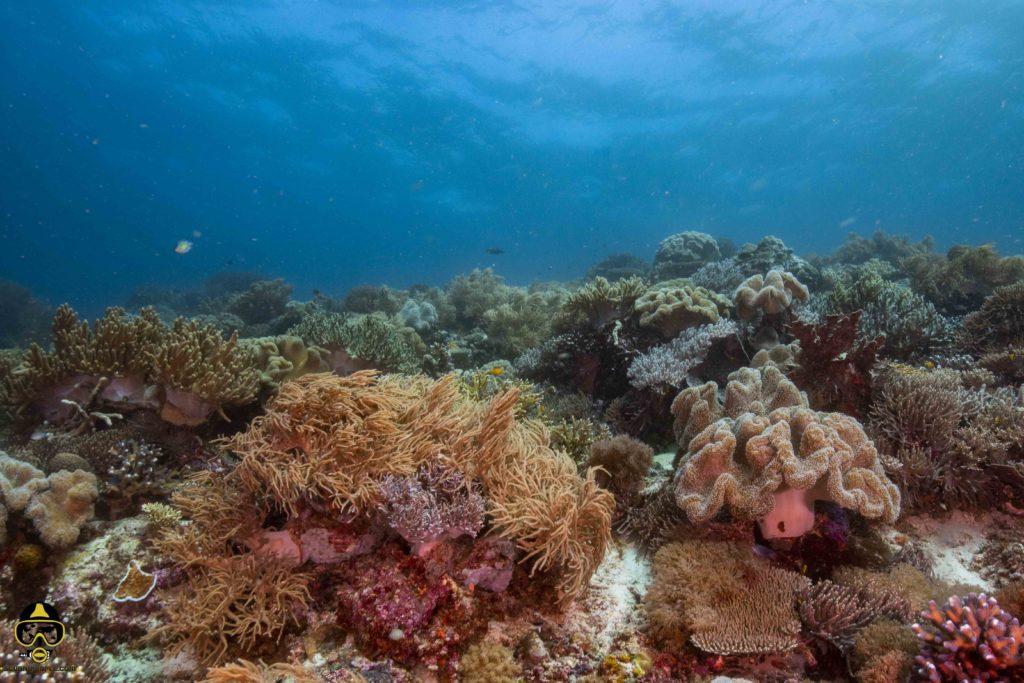 raja ampat soft corals