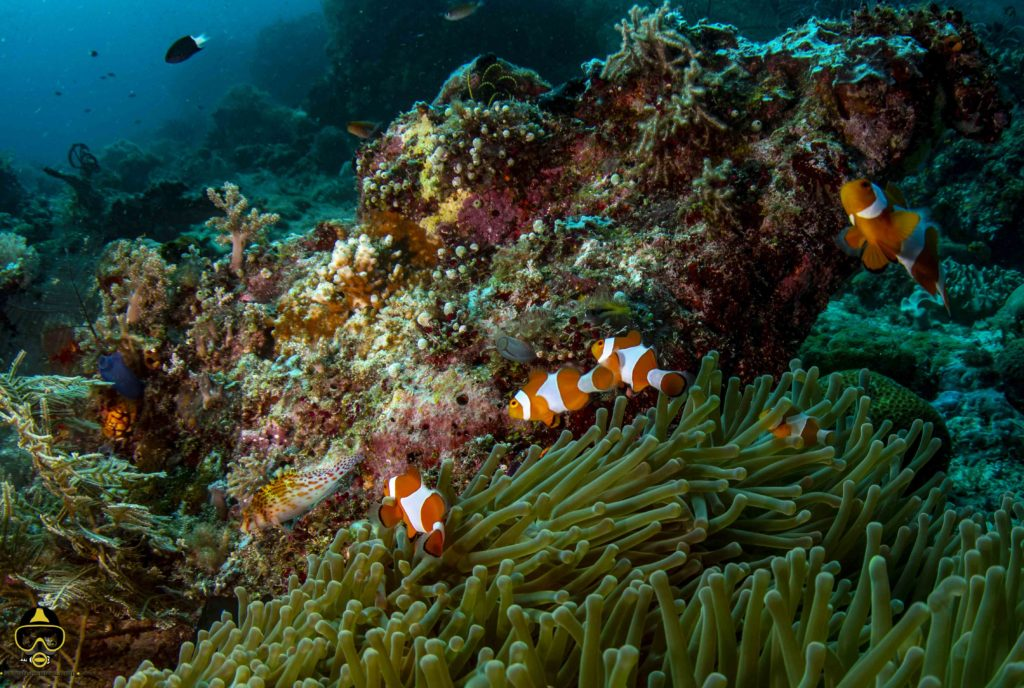 clown fish in raja ampat