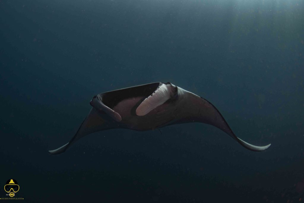 manta ray giant