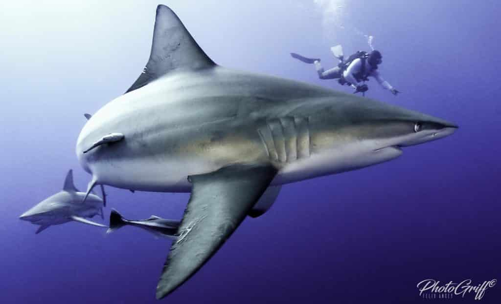 bull shark mozambique