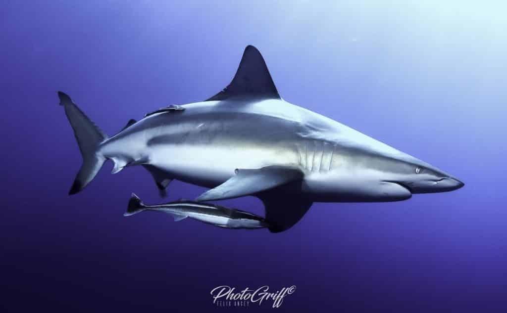 سمك القرش في موزمبيق