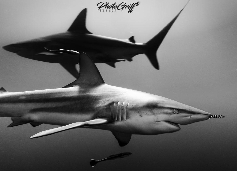 photogriff bull shark