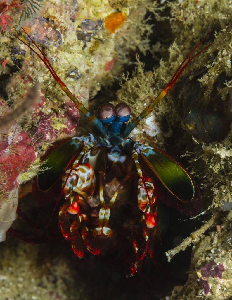 crevette mantis