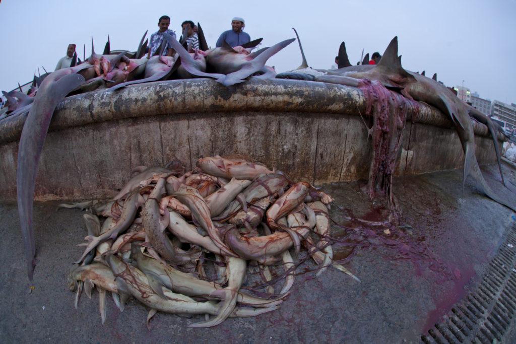 requin marteaux a deira