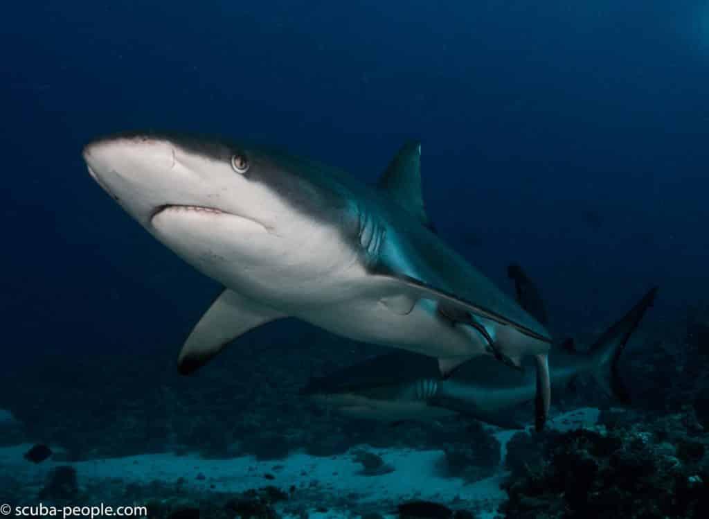 requins gris
