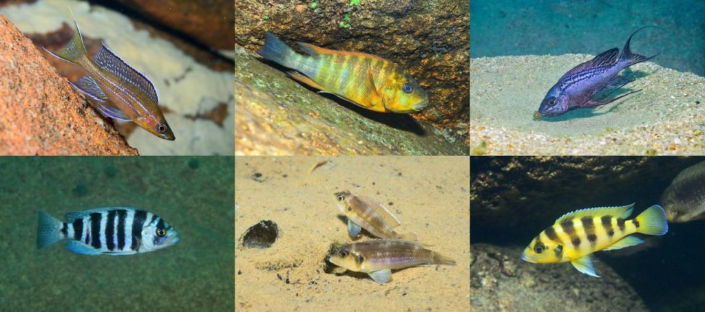 Diverses espèces de poissons du lac tanganyika