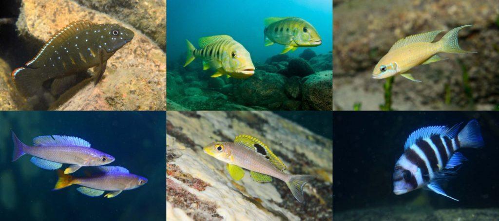 السمك التنزاني