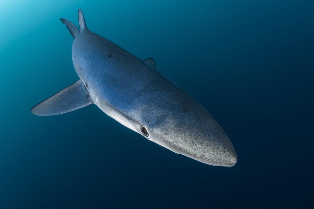 blauwe haaienhuid