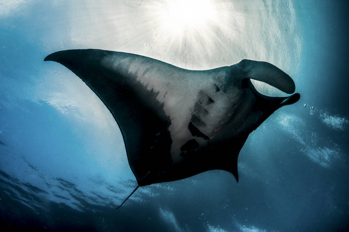 mobula ray in misool