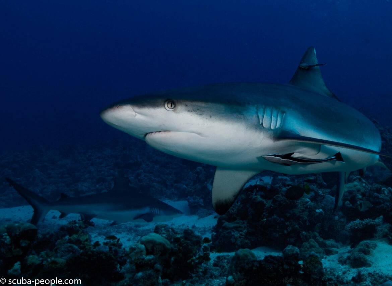 Foto dello squalo grigio in Sudan