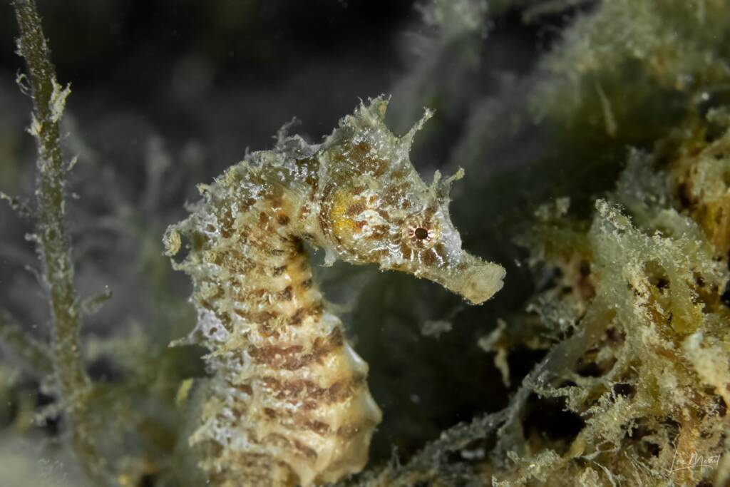 Seahorse with different morphology